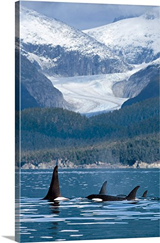 Canvas on Demand Premium Thick-Wrap Canvas Wall Art Print entitled A pod of Orca whales surface in Favorite Passage near Eagle Glacier and Coast Range 20