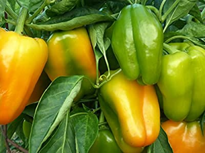 David's Garden Seeds Pepper Bell Sweet Jemison D573A (Yellow) 25 Organic Seeds
