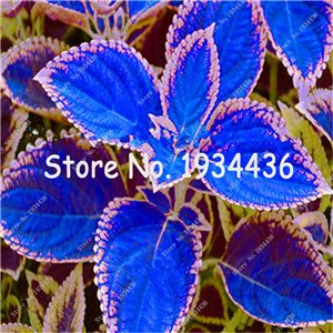 100pcs Rare Coleus Blumei Seeds,Rare Flower Seeds Potted Begonia Plants for Garden Balcony Coleus Seeds For Sale