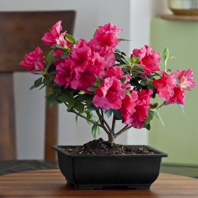 Vibrant Azalea Bonsai - Live Plant - Green Gift - Live Flowers - Fresh Flowers - Cut Flower Alternative - Ships Fast - 2nd Day Express by Windowbox