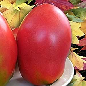 Rare Red Giant Tomato Seeds Bezrazmernyy - Dimensionless Heirloom NON-GMO
