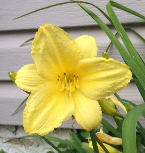 Daylily HAPPY RETURNS Extended Rebloomer REDUCED PRICE • 10 fans in 1-3 clumps