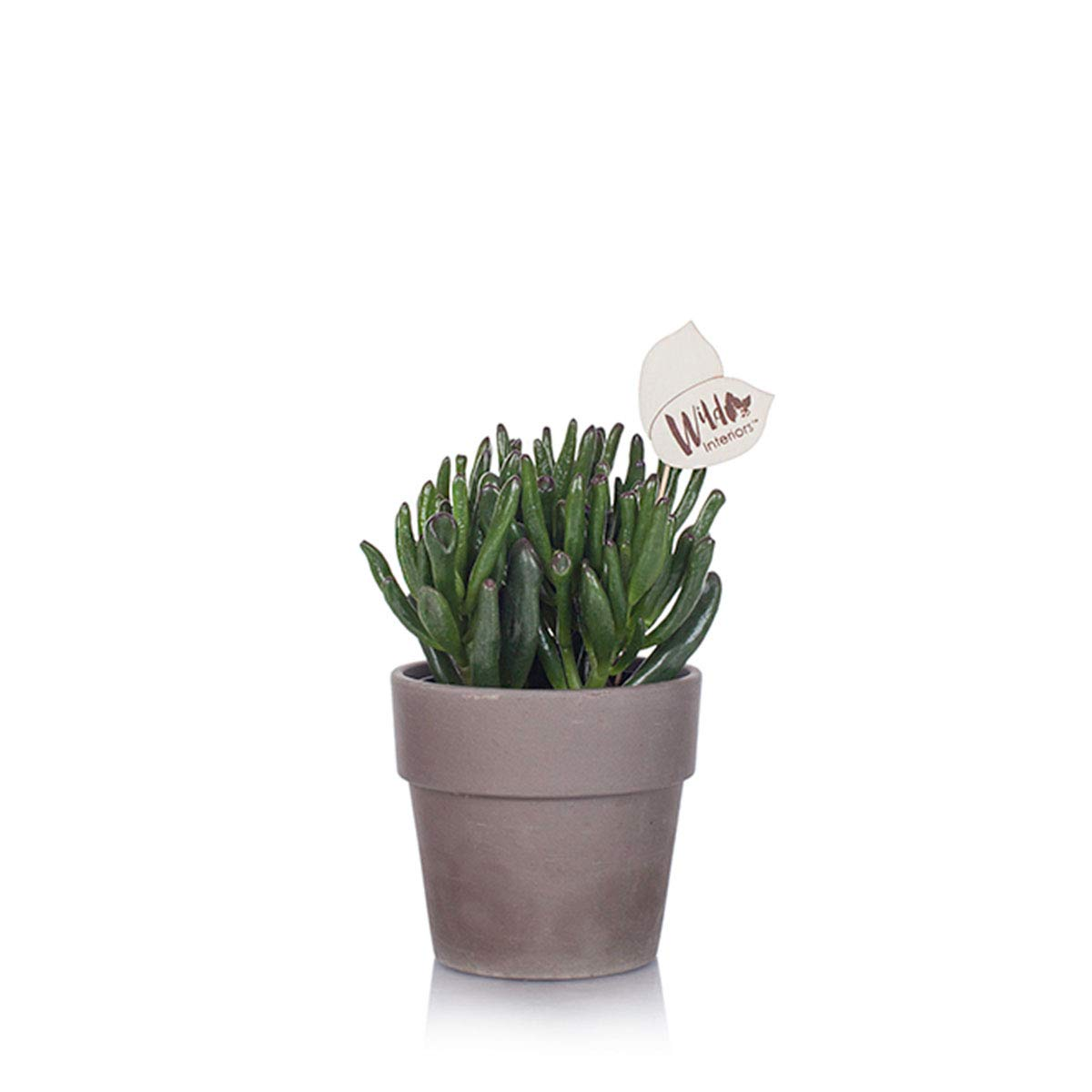 Wild Interiors WI111 Crassula Live Indoor Plant, Shelf Size (5'' Pot), Green by Wild Interiors