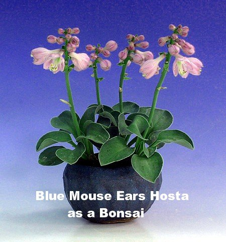 Amazoncom Blue Mouse Ears Hosta 2008 Hosta Of The Year Dwarf