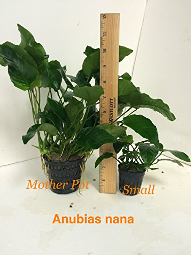Anubias nana Mother Pot Plant M008 Live Aquatic Plant by Jayco (Image #1)