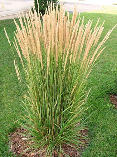 - Live Feather Reed Grass - Calamagrostis acut Karl Foerster Plant Fit 1 Gal Pot Home Garden