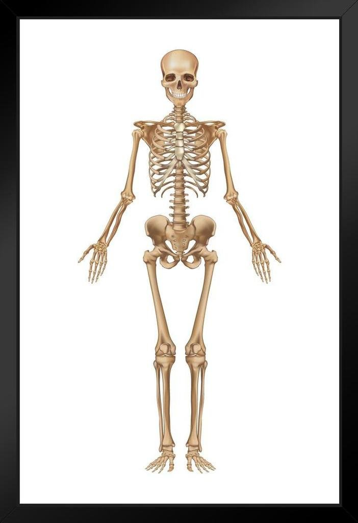 Amazon Full Human Skeleton Frontal View Detailed Illustration