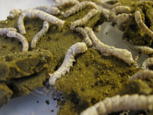 Live Silkworms in Pod with Food ()