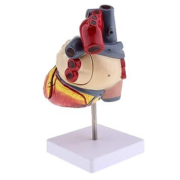 Baosity Medical Teaching Auxiliary Anatomical Human Heart