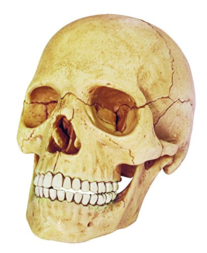 Exploded Skull Anatomy Model – Build your Own!