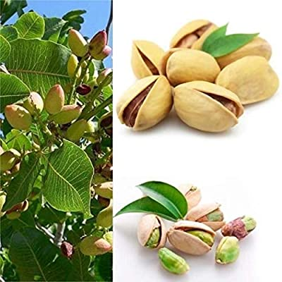 XKSIKjian's Garden, 5Pcs Fig Tree Seed Ficus Carica Delicious Fruit Bonsai Ornamental Plant Home Decor Non-GMO Open Pollinated Seeds for Planting - Fig Tree Seeds : Garden & Outdoor