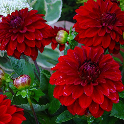 (Babylon Red Dinnerplate Dahlia - 2 Bulb)