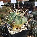 Ferocactus glaucescens Cactus Cacti Succulent Real Live Plant