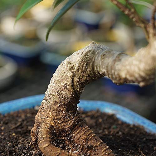 Buy indoor bonsai trees for beginners