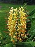 Fresh Hedychium Gardnerianum - Kahili Ginger Lily - Rare Tropical Plant 5 Seeds