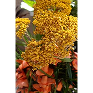 Yellow Natural Yarrow 10 Stems - Excellent Home Decor - Outdoor Indoor 26