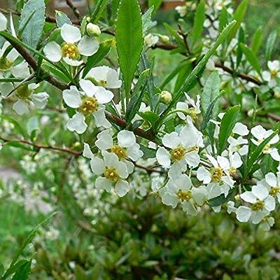 10 Hedge Prinsepia Prinsepia Uniflora Fruit Seeds for Planting Outdoors WL #RR12 : Garden & Outdoor