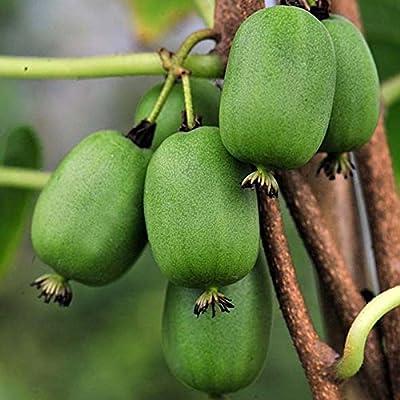 Hardy Kiwi Actinidia Arguta - 50 Seeds