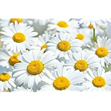 Daisies Flowers Meadow Wall paper Wall decoration by Great Art 82.7 Inch x 55 Inch