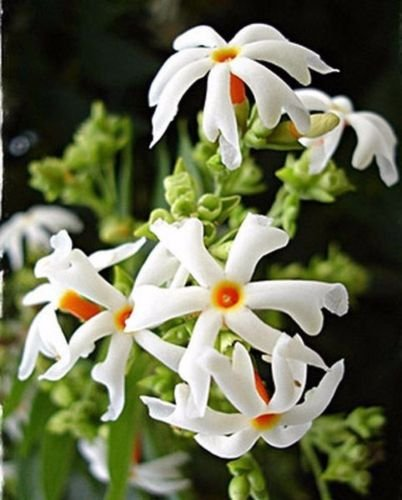Nyctanthes Arbor - Nyctanthes arbor tristis 2.5