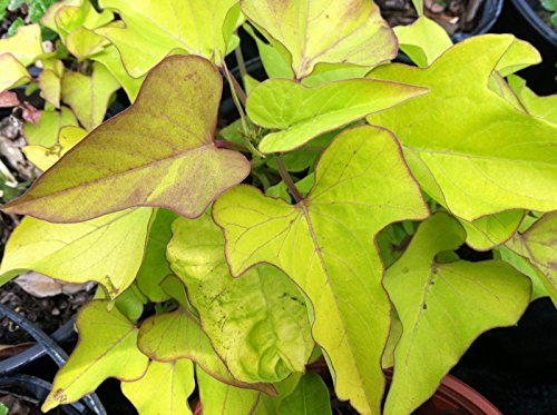 "IPOMOEA SWEET POTATO VINE - MARGARITE - 2 PLANTS - 3"" POTS"
