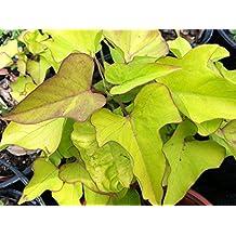 IPOMOEA SWEET POTATO VINE - MARGARITE - 20 PLANTS - STARTERS