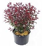 Prunus cistena (Purpleleaf Sandcherry) Shrub, 3 - Size Container