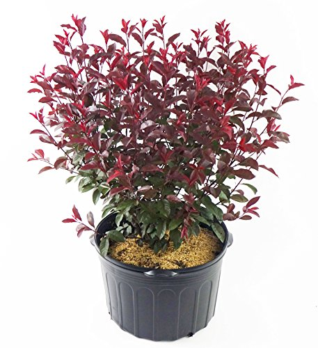 Prunus cistena (Purpleleaf Sandcherry) Shrub, #3 - Size Container by Green Promise Farms (Image #6)