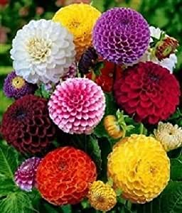 Dahlia Seeds Pom Pom Mix Dahlia Seeds 50 Flower Seeds