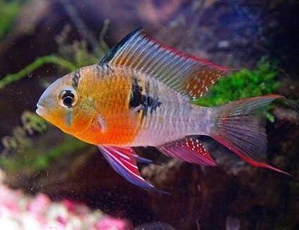 Amazon Com Nationwide Fish 3 Bolivian Ram Cichlid Live Freshwater