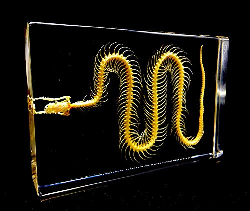 Real Snake Skeleton Specimen in Acrylic Block Paperweights Science Classroom Specimens for Science Education