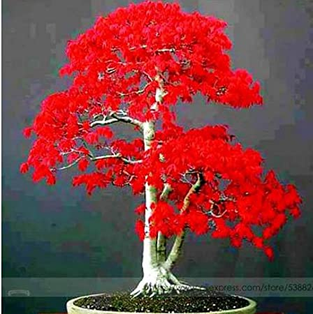 Amazon Com 100 True Japanese Red Maple Bonsai Tree Cheap Seeds Pro Pack 20 Seeds Pack 2 Packs Very Beautiful Indoor Tree Nf924 Garden Outdoor