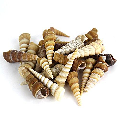 CYS EXCEL Sea Shells Christmas Seashells Decoration Vase Fillers Home Decoration Crafts Various Natural Beach Seashells Appox. 8oz Per Bag, 25-30 Pieces. (Turitella Terebra) 1.5