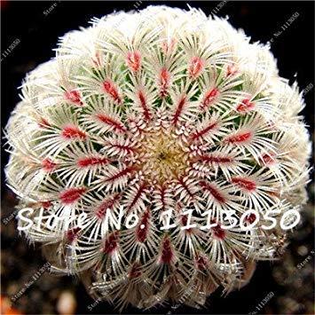 Seltene 20 Vielfã¤ltig Zierpflanzen Fã¼r 100 Mixed Blumensamen Fash Die Samen Reinigen Lady Sukkulenten Indoor Stã¼cke Jardin Luft Kã¶nnen Kaktus zx0wS