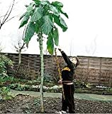 HEIRLOOM NON GMO Giant Walking Stick Kale (Rare) 25 seeds