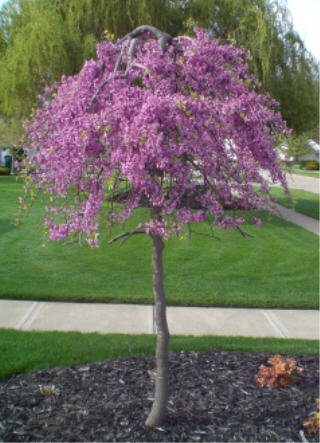 Flowering Ornamental Hardy Trees - (7 Gallon Pot) Weeping Redbud Ruby Falls- Absolutely Striking, Unique Weeping and Twisting Branches Cascading Toward The Ground. Plant Shipped is Around 4-6 ft Tall