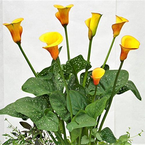 Black Calla Lily Odessa (3 BULBS - Not Just Seeds!) Zantedeschia Tubers - GORGEOUS! by EGBULBS (Image #5)