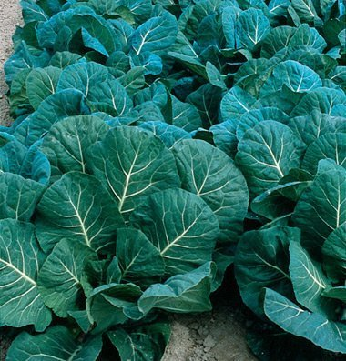 David's Garden Seeds Collards Flash D2116COLL (Green) 200 Hybrid Seeds