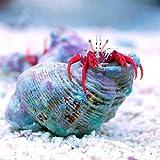 (海水魚 ヤドカリ)スカーレットリーフハーミットクラブ(1匹) 本州・四国限定[生体]
