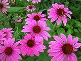 "Echinacea Herb Plant - 4"" Pot"