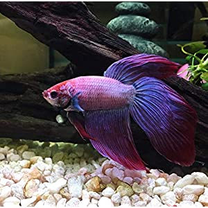 Live Aquarium Betta Fish