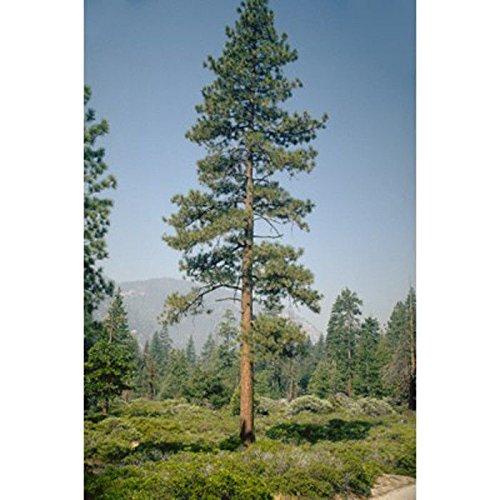 PLAT FIRM GERMINATIONSAMEN: 50 Samen: Jeffrey Kiefer Samen, Pinus jeffreyi PC STURDY