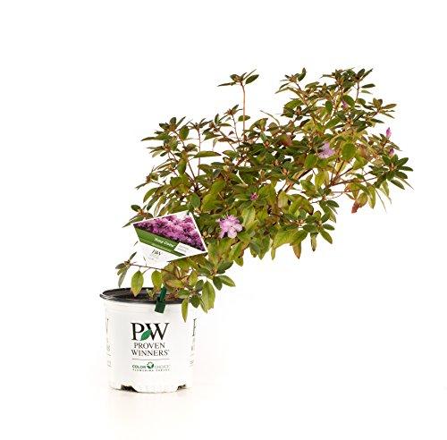 amy-cotta-rhododendron-live-shrub-purple-flowers-1-gallon