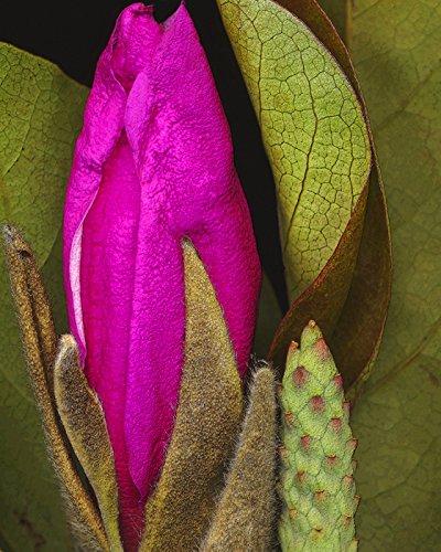 Magnolia Budding - Garden, Budding Pink Green Magnolia By M. Klein Art Print, Poster or Canvas