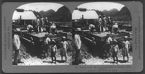 Historic Photos 1906 Photo Drying Cocoa, one of The Industries of Dominica, [British] West Indies [one of The Windward Islands