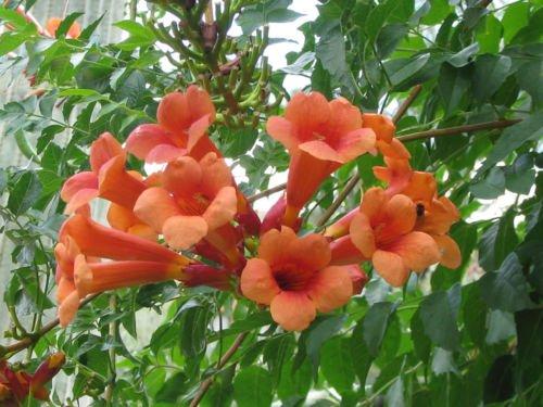 Bignoniaceae Campsis radicans - trumpet creeper vine, Red flowers, starter plant (Red Trumpet Flower)