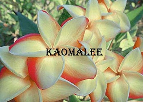 fragrant-plumerias-cutting-with-rooted-6-12-inches-kao-malee-with-certification-and-registered-track