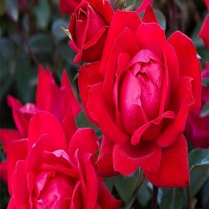 Amazon Com Knockout Double Red Rose Shrub Garden Outdoor