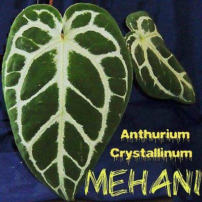 Anthurium Leaf - ~MEHANI~ Anthurium Crystallinum Velvet Veined Leaf Collector's LIVE AROID PLANT