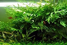 Bolbitis Difformis Baby Leaf Fern Potted Live Aquarium Plants for Freshwater Fish Tank by Greenpro